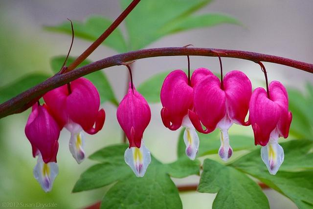 Fuchsia Bells (Dicentra)