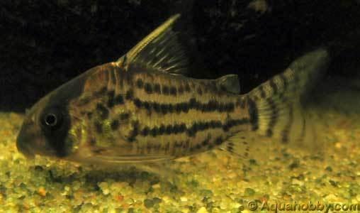 SCHWARTZS CORY Fresh Water Fish Pinterest