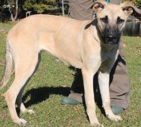 Great Dane, Shepherd mix
