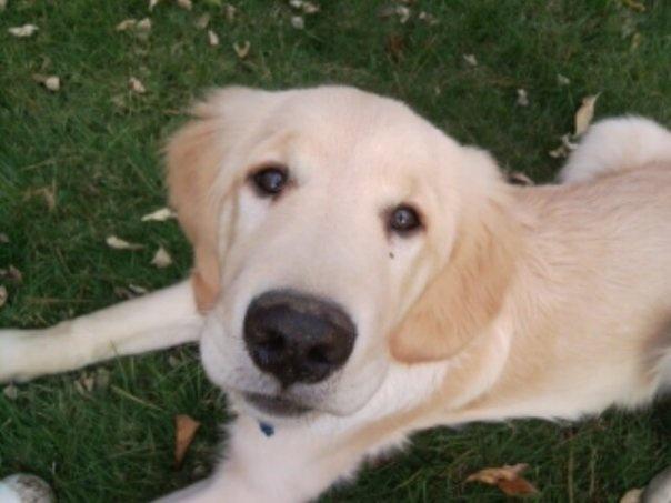 Lab dog all types of animals pinterest