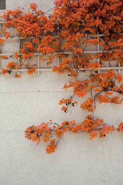 A trellis of orange blooms, via loveallthingscomfy