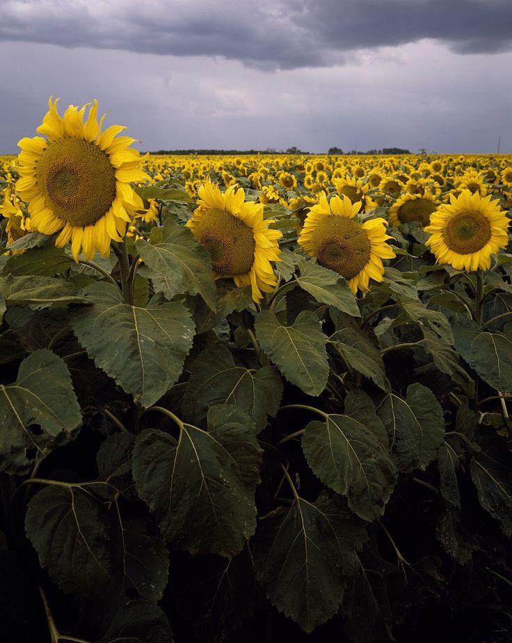 Kansas sunflower field up close