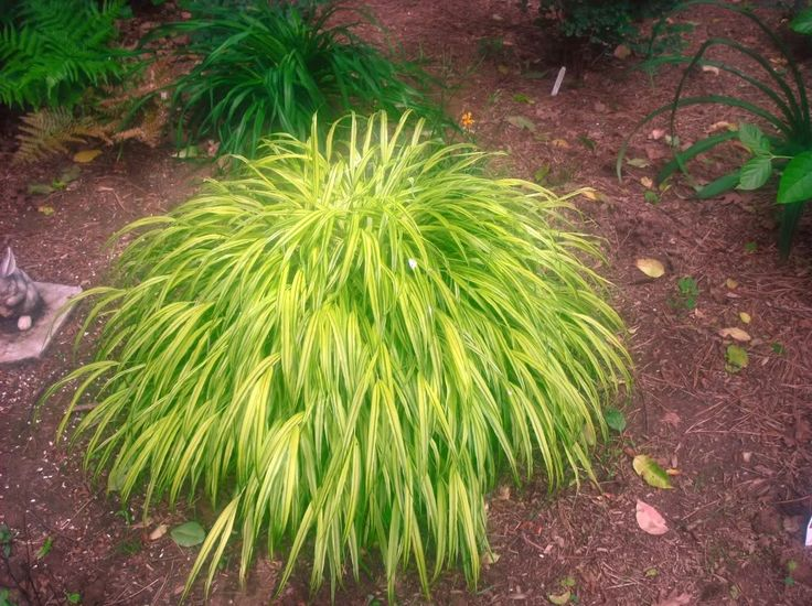 Shade grass hakonechloa macra garden pinterest for Which ornamental grasses grow in shade