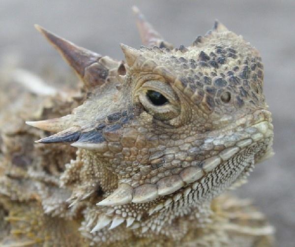 Carrizo Springs Texas Horned Lizard   TEXAS!!   Pinterest