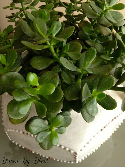 Jade plant very easy to care for decorative details for Easy plants to care for