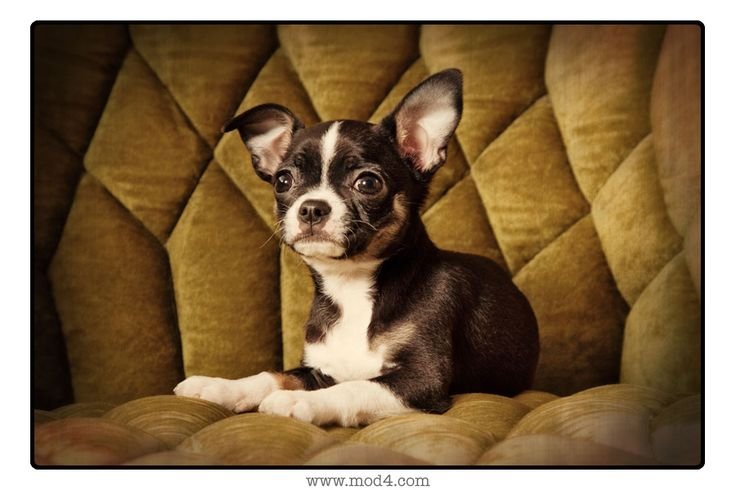 Boston Terrier Chihuahua | Pets | Pinterest