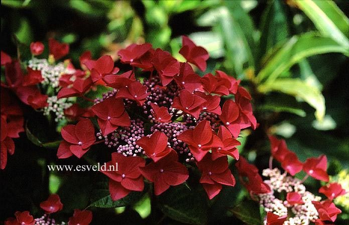 lady in red hydrangea care