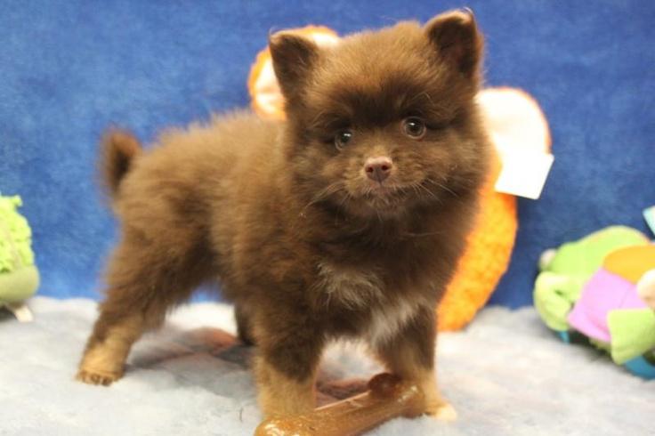 Pin And Brown Pomeranian Puppy Chocolate Dark on Pinterest