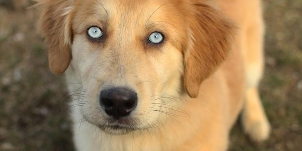 What Happens You Mix A Husky And A Golden Retriever Aww