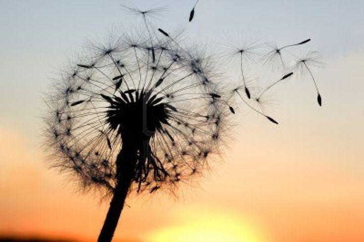 Dandelion blowing seeds in the wind Blowing Dandelion Birds