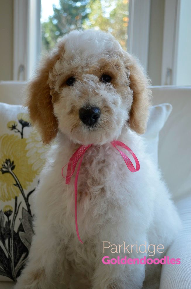 Parti Goldendoodle Animals Pinterest