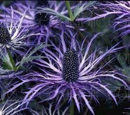 "Sea Holly - Eryngium alpinum ""Superbum""   http://www.seedaholic.com/eryngium-alpinum-superbum-alpine-sea-holly.html"
