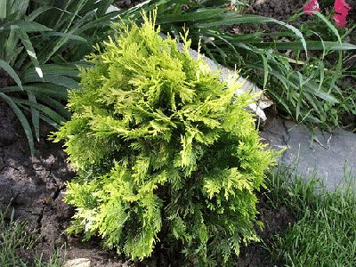small evergreen shrubs garden pinterest. Black Bedroom Furniture Sets. Home Design Ideas