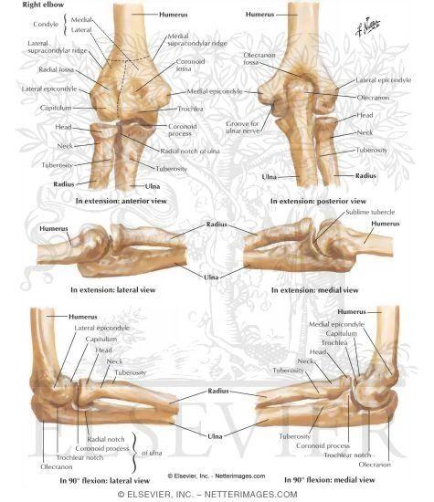 Elbow bone anatomy