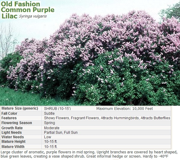 Lilac old fashioned common purple bring me a shrubbery