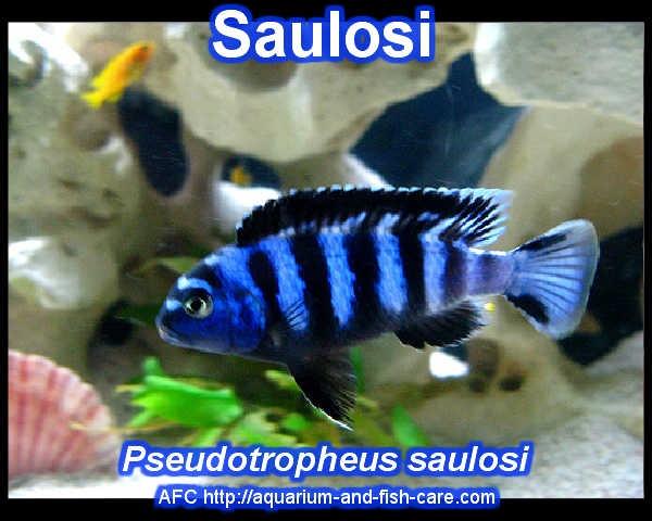Pseudotropheus saulosi - Saulosi Saltwater Aquarium Fish - Meerwass ...