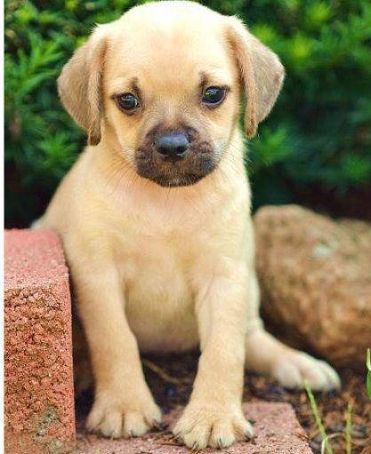 Pug & Beagle Puggle | Puppies | Pinterest