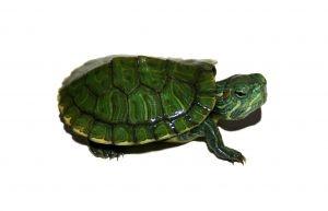 Baby terrapin turtles pinterest