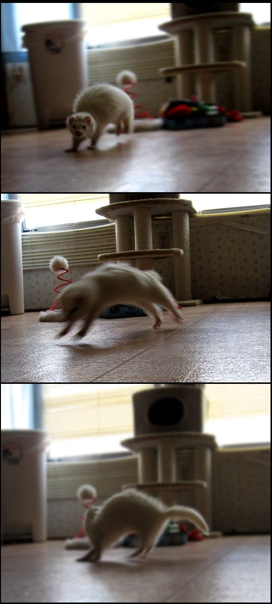 Pocket camera set of a ferret from years past Toad dancing through a kitchen in a long ago home.  He was a blast.