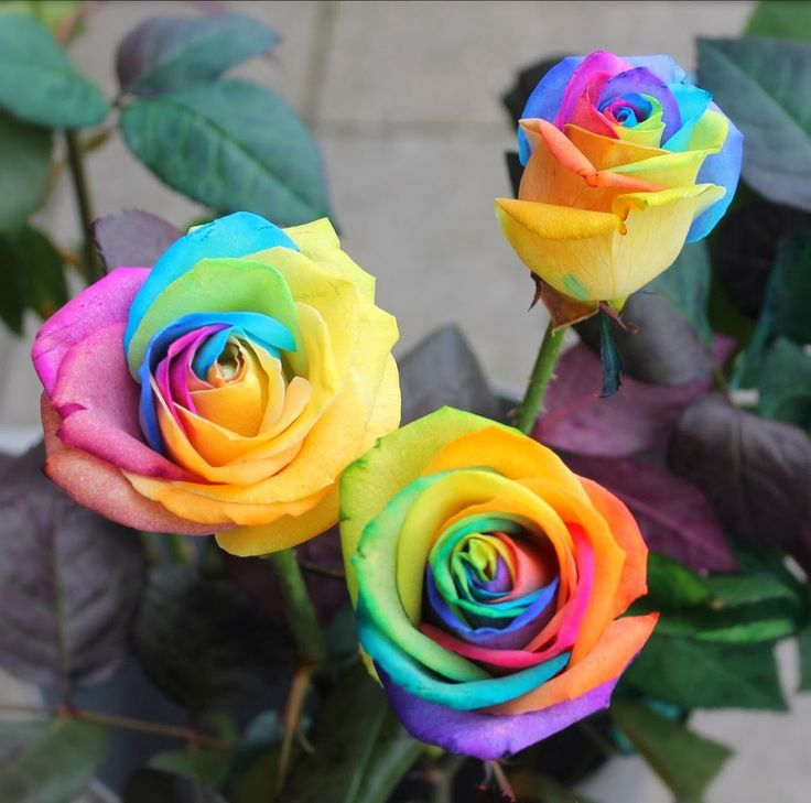 Rainbow flower homes rainbow roses tattoos pinterest for Where to get rainbow roses