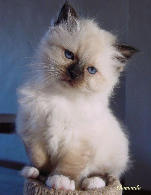 birman kitten pictures - photo #14
