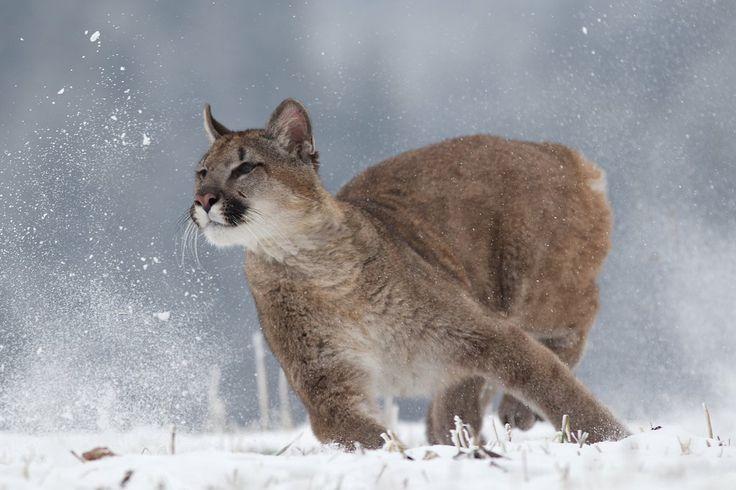 Running Wild, Mountain Lion, cougar, puma, Czech Republic