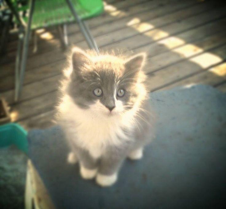fluffy grey kitten-#7