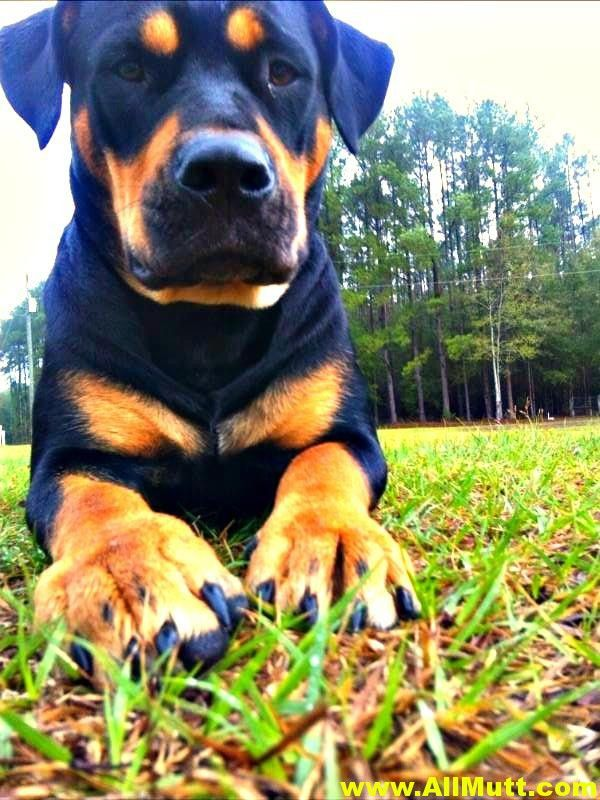 Pitbull rottweiler mix {looks just like our Rowdy} =)