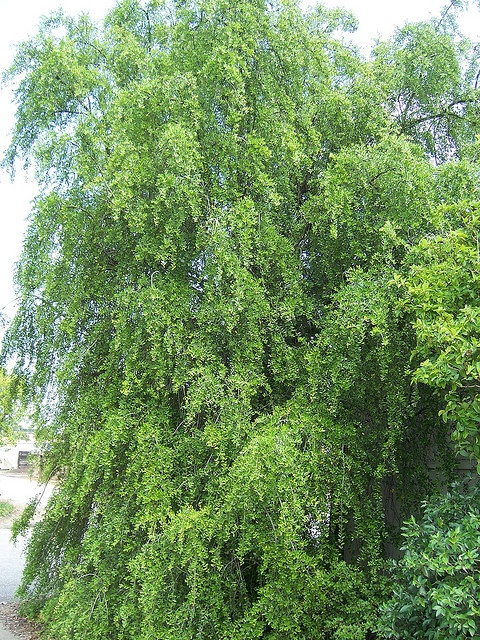 Mature Weeping Yaupon | Plant Palette-Trees | Pinterest