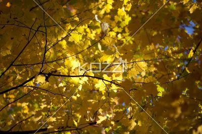 image of maple leaves. - Close-up image of maple leaves.