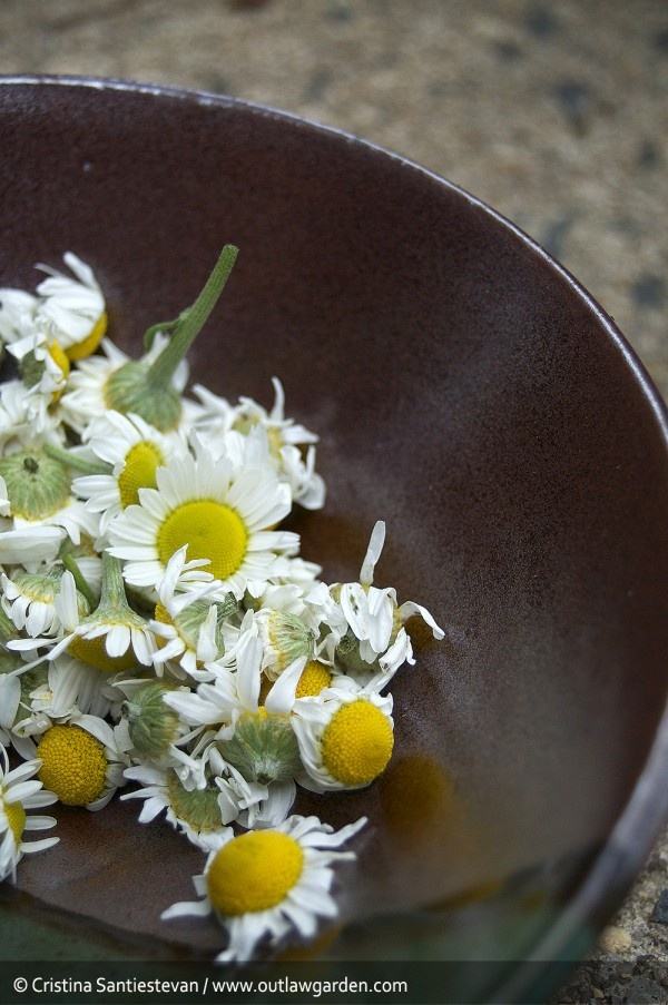 Fresh-picked homegrown chamomile flowers, about to become tea!