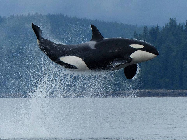 how to draw a killer whale jumping