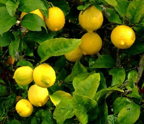 Lemon-Infused Vodka (Limoncello) Recipes — Dishmaps