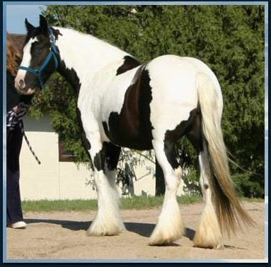 Gypsy Horse Draft With Easy Temperament I Want One Hors