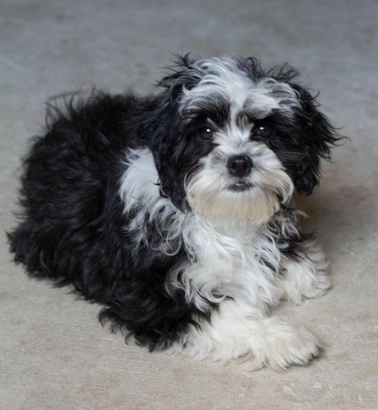 black and white shih tzu | puppy love | Pinterest