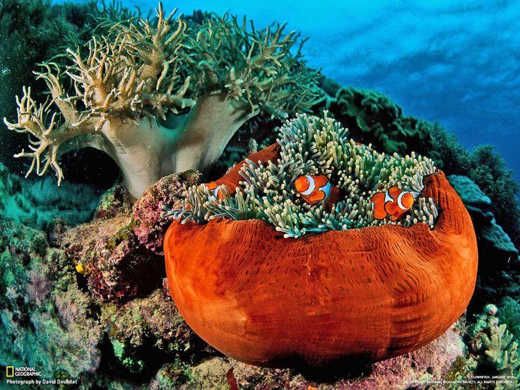 Great Barrier Reef coral & clown fish | Reef | Pinterest