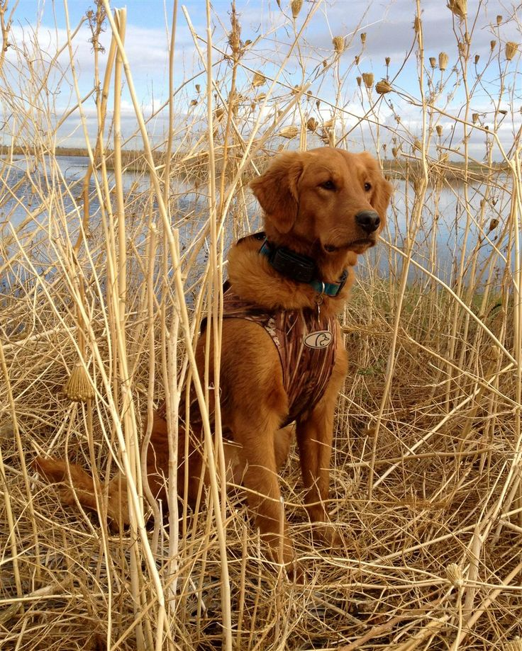 Pin by Bailey Glenewinkel on All About Goldens | Pinterest