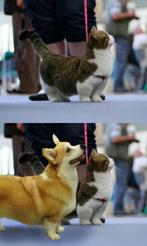 #Corgi and munchkin cat | Corgis n' Cats! | Pinterest