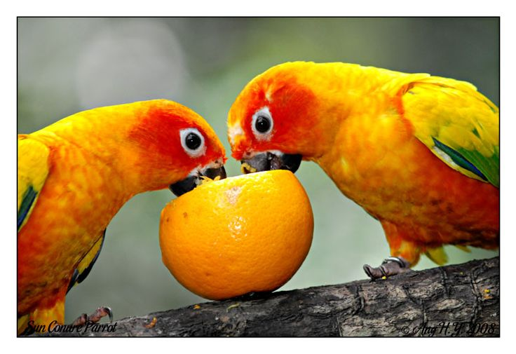 sun conures parrots pinterest