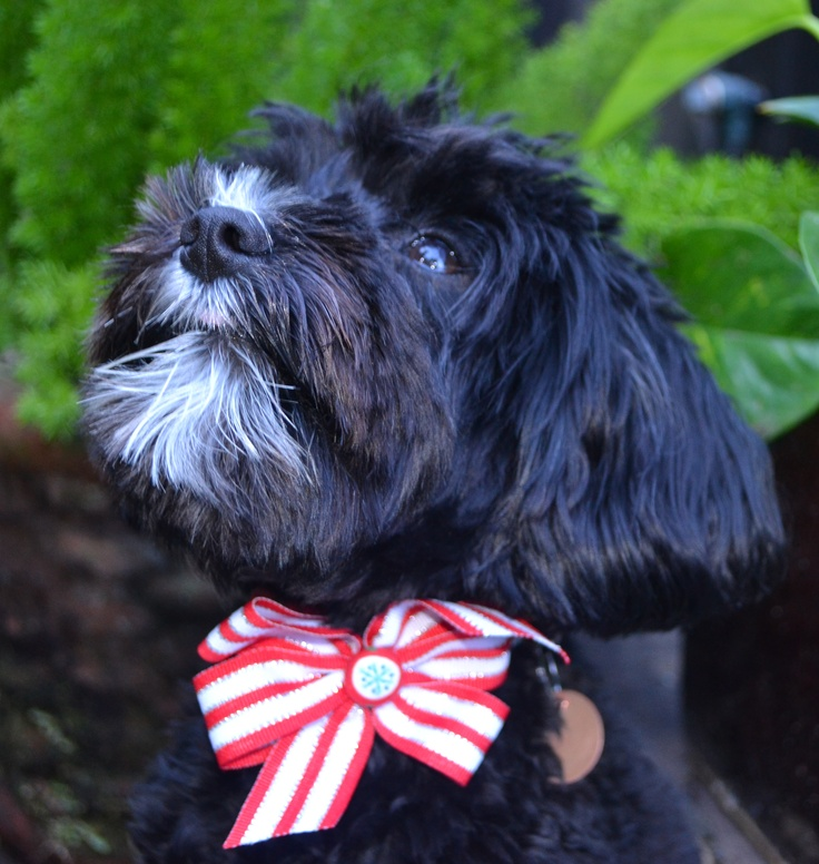 schnoodle dog bow christmas | Schnoodle