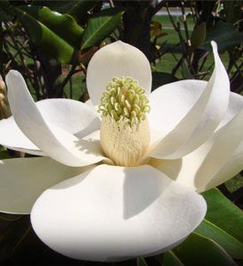 Southern Magnolia - beautiful!