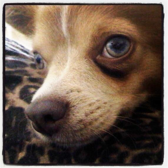 Продаётся девочка чихуахуа, у малышки оливковый цвет глаз, весёлый и игривый характер