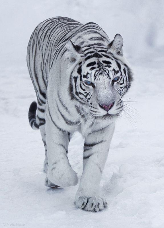 Snow Bengal Tiger | The Wild | Pinterest