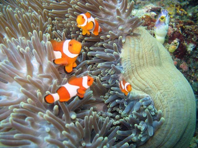Sasanka s klauny (Anemone and clownfishes). Raja Ampat. Papua ...