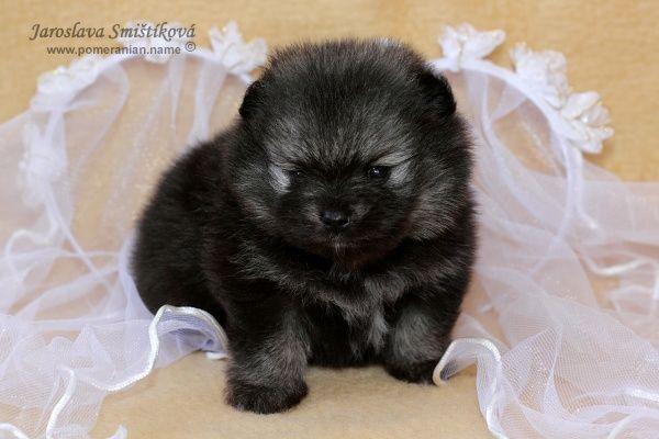 orange sable pomeranian - Google Search | Precious Pomeranians | Pint ...