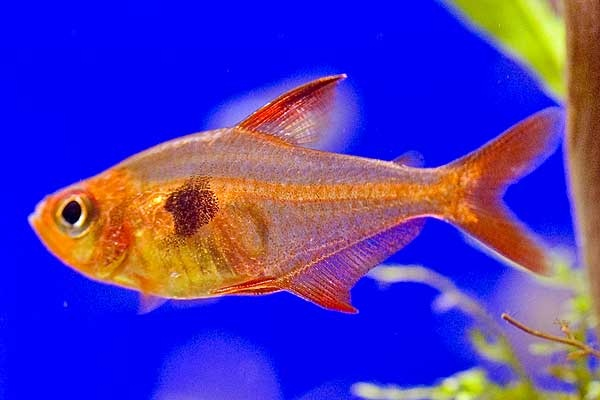 Red Phantom Tetra My Style Pinterest