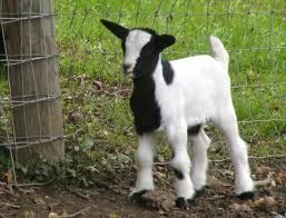 Awh a baby goat
