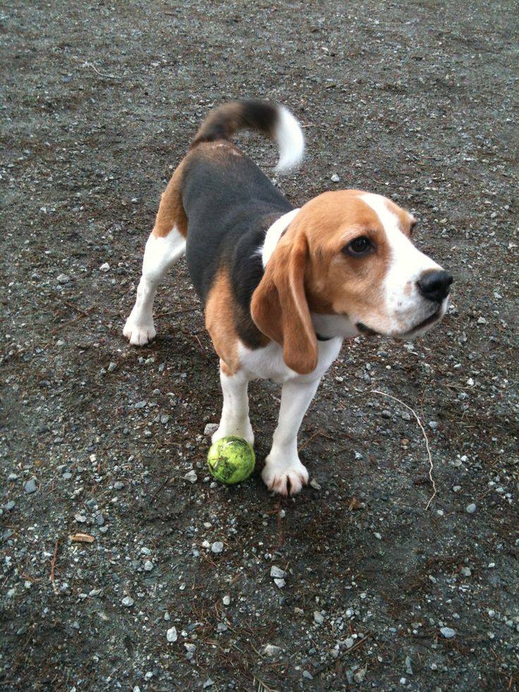 Beagle at the dog park. Too cute!!! | Pets & Animals ...