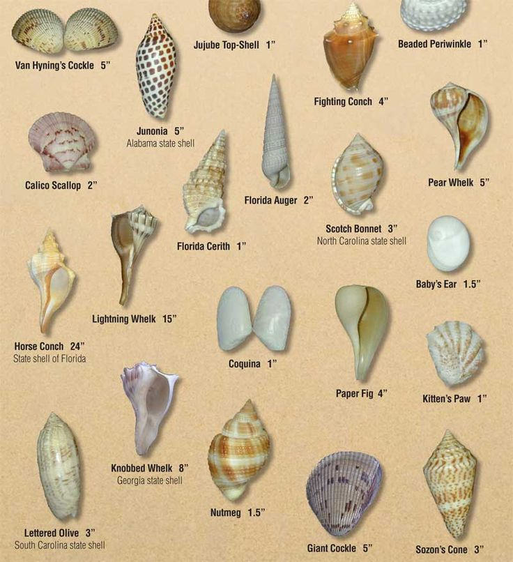 Similiar types of shells in florida keywords - Types of seashells for kids ...