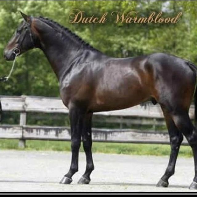 Dutch Warmblood....droool